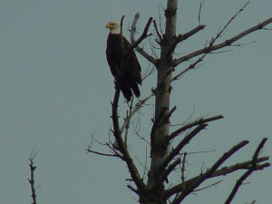 Bald Eagle in Lows Lake.