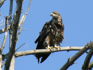 Immature Bald Eagle on Lows Lake