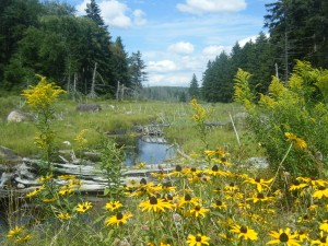 Black-eye Susans on old flow near Newcomb, NY.