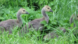 Little Canada geese along side of dirt road.